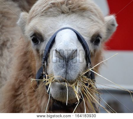 camel bridle chewing hay and looking ahead