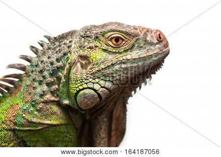 Close-up portrait of a male Green iguana (Iguana iguana) isolated on white.
