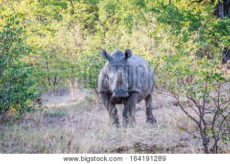 White Rhino Starring At The Camera.