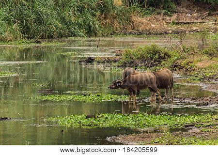 baffalo in river, Thailand asia , mamal