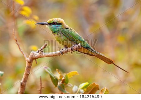 Rainbow bee eater (Merops ornatus) is a near passerine bird in the bee-eater family Meropidae. Rainbow bee-eaters are brilliantly colored birds that grow to be 19-24 cm (max 28 cm) in length, including the elongated tail feathers