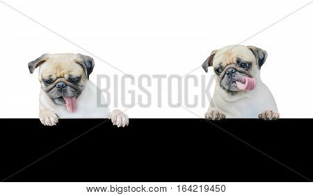 Cute puppy dog pug above banner look down with copy scape for label on white background Mockup template for gift certificate. Pug dog for advertisement banner.