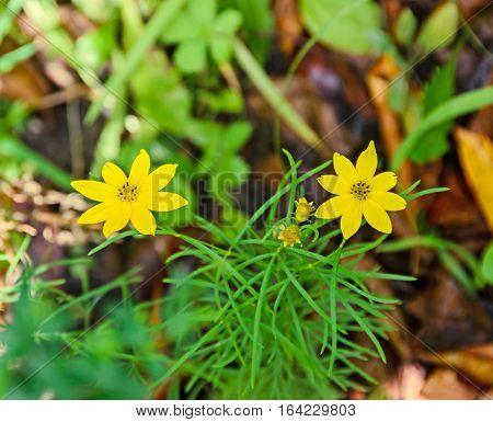 Yellow Bidens Aristosa Flowers, Bearded Beggarticks, Tickseed Sunflower, Bur Marigold