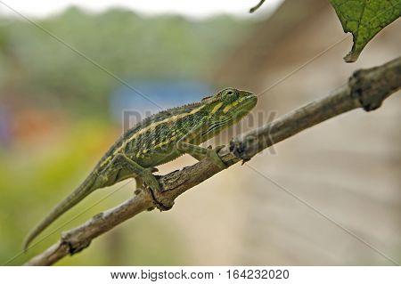 Flap-necked Chameleon (Chamaeleo dilepis) on a Branch. Bwindi Uganda