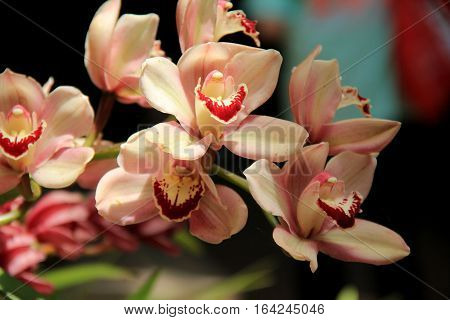 Horizontal image of beautiful peach and red color exotic orchids in tropical garden.
