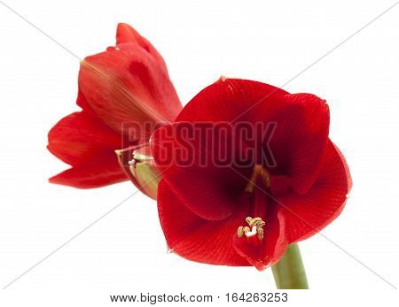 Red Amaryllis Or Hippeastrum