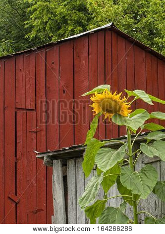 A towering sunflower growing beside an unused outbuilding with a red tobacco barn behind. Note the narrow door on the red barn. When tobacco is first hung in these barns for curing the doors are open for air circulation.