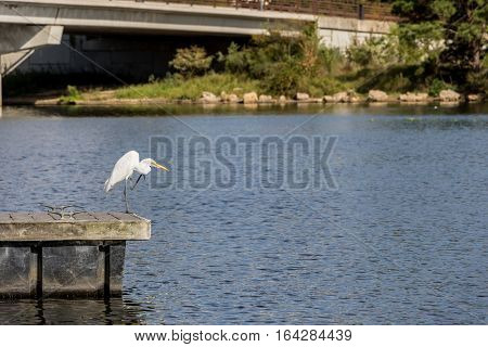 Great Egret standing on a pier with one leg raised.