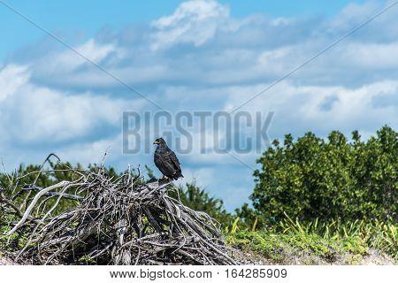 Hawk free falcon wildlife bird in mexico yucatan