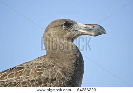 this is a close up of a juvenile Pacific gull