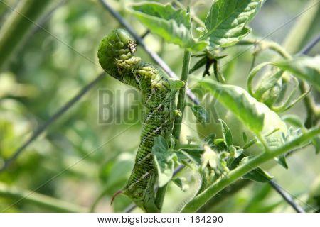 Huge Tomato Hornworm