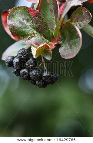 Black ashberry/ Black rowan /Black chokeberry (Aronia melanocarpa) - branches of the tree in the garden