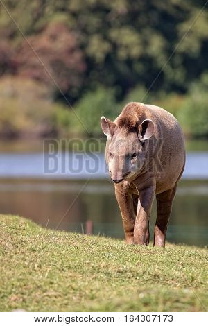 Tapir in a clearing in the wild
