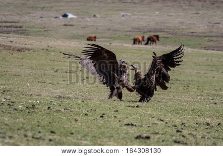 Two vultures fight for female vulture in Mongolian steppe