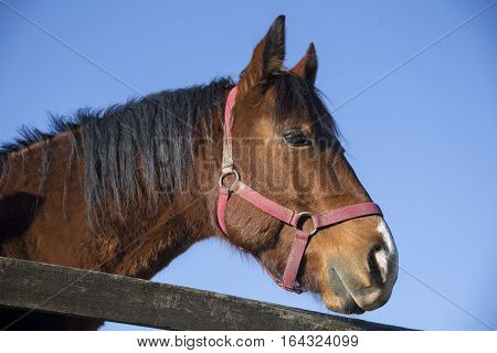 Side View Closeup Of A Thoroughbred Warm Blood Saddle Horse