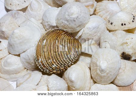 Large striated shell on background of white conical shells,white and light brown