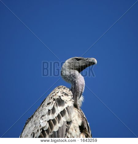 Griffon Vulture In Serengeti Tanzania