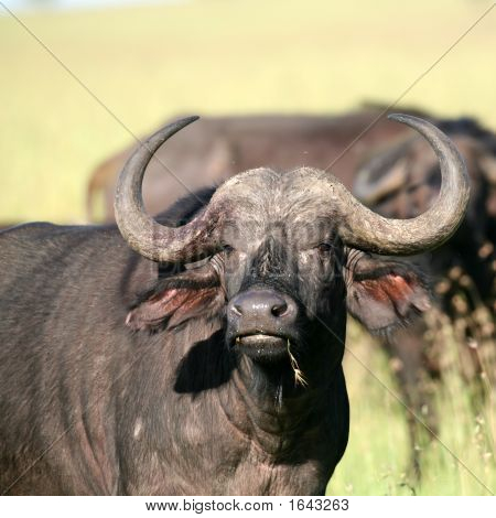 African Buffalo In Masai Mara Kenya With Flies