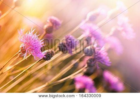 Beautiful flowering flowers in spring - flowering thistle, (burdock) blooming wild flower in meadow lit by sunlight