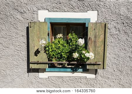 Flowers on the window sill. Pelargonium blossom is blooming. White bloom on the window ledge.