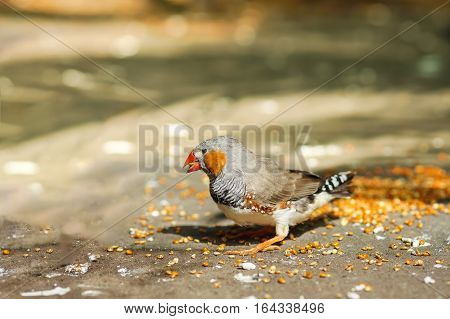 Male Zebra finches (lat. Taeniopygia guttata) is a bird of the family of finches weaverbirds - eating millet.
