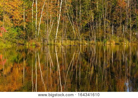 Wisconsin pond with mallard ducks surounded by colorful autum trees.