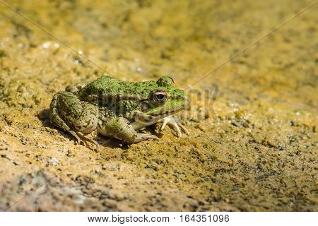 Green frog pond (lat. Pelophylax lessonae) on a yellow sand