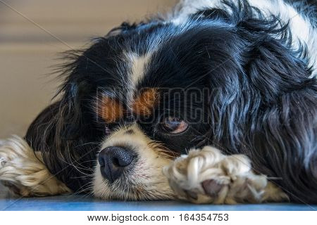 Beautiful portrait of a female tricolor Cavalier King Charles spaniel