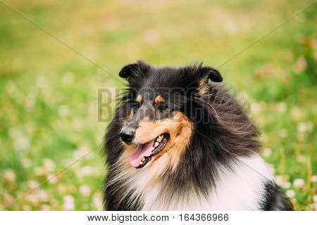 The Close Portrait Of Staring Tricolor Rough Collie, Scottish Collie, Long-Haired Collie, English Collie, Lassie Adult Dog With Ajar Jaws, Tongue.