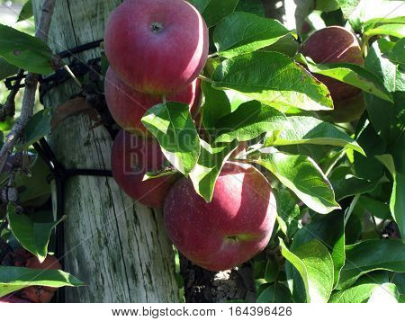 red ripened apples with leaves tied to a wooden post