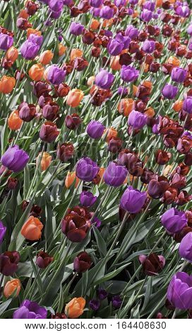 Vertical image of a large bed of burgundy, mauve and orange tulips, on a bright sunny day in May, at the Tulip Festival in Ottawa, Ontario.