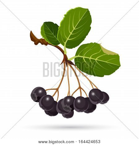 Aronia chokeberries isolated on white. Branch of black berries with green leaves. Botanical vector illustration of purple choke berry, used in wine, jam, syrup, juice, soft spreads, tea, salsa