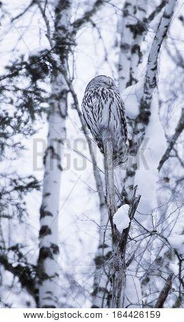 Ural owl in natural habitat -strix uralensis in the winter time