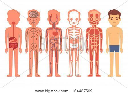 Human body anatomy vector. Male skeleton, muscular, circulatory, nervous and digestive systems. Human functioning system cartoon illustration