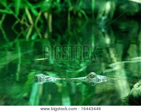 Crocodile - Kakadu
