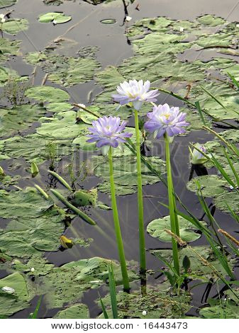 Water Lilies - Kakadu