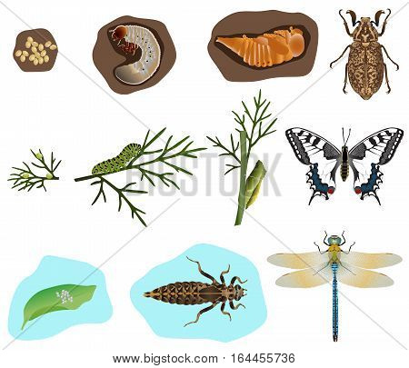 The stages of metamorphosis of beetle, butterfly and dragonfly