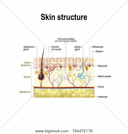 human skin and hair structure. cross section of the human skin.