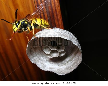 Wasp On Vespiary