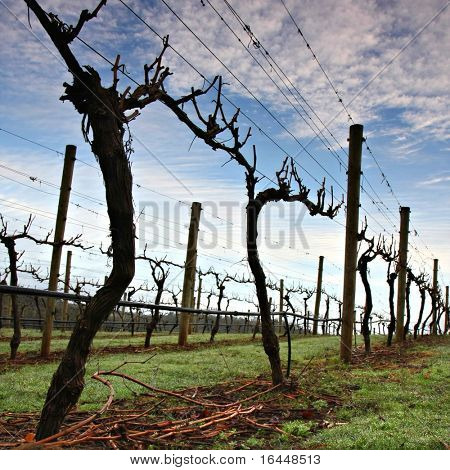 Winter Grape Vines in Tasmania's Tamar Valley