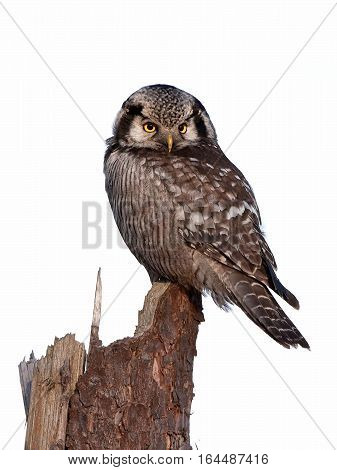 Northern hawk-owl (Surnia ulula) resting on a broken tree trunk isolated on a white background