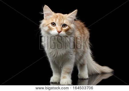 Red Siberian cat standing and questioningly looking in camera on isolated black background with reflection