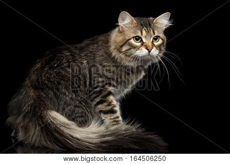 Curious Siberian Cat Turn back with furry tail on isolated black background, Side view
