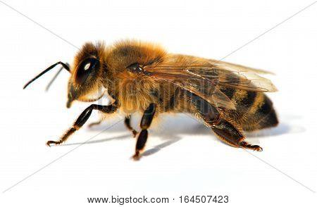 detail of bee or honeybee in Latin Apis Mellifera european or western honey bee isolated on the white background golden honeybee