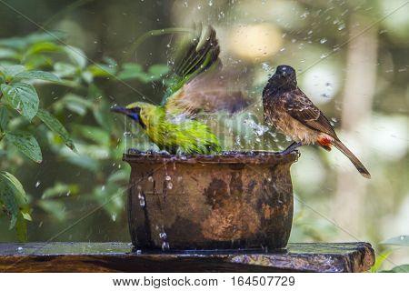 Jerdon's leafbird and Red-vented bulbul in Minneriya national park, Sri Lanka ; specie Chloropsis jerdoni and Pycnonotus cafer