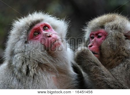 Snow Monkeys at Jigokudani near Nagano, Japan
