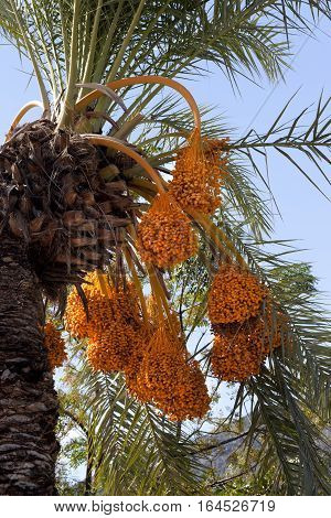 Date palm (Phoenix dactylifera) with bunches of ripening fruit