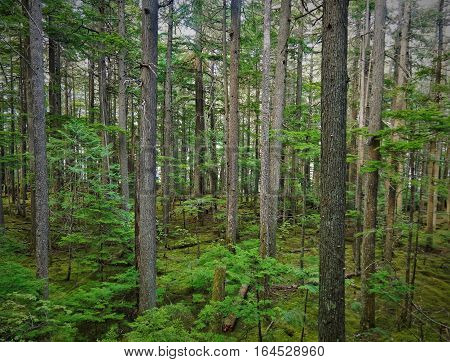 Lush, Green Canadian Forest in the Summer