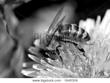 B&W Honeybee Macro