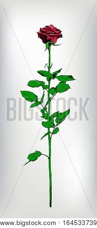 Single long stem red Rose. Hand drawn. Luxury and passion look. Vector realistic illustration.